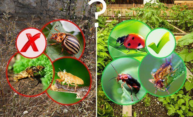 : полезные и вредные жуки в огороде фото опиÑÐ°Ð½Ð¸Ñ Ñ‡Ñ'о делать