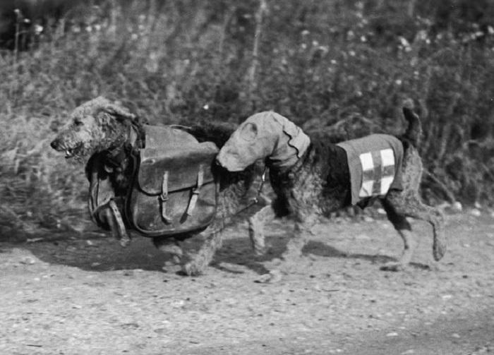 Два терьера тренировочного лагеря в Англии. Одна собака несет специальный противогаз, а другая медикаменты для раненого солдата.