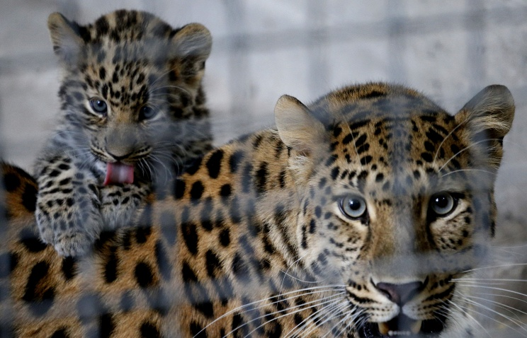 Дальневосточный леопард погиб в ДТП в Приморье