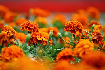 Где бархатцы цветут вдоль узеньких тропинок