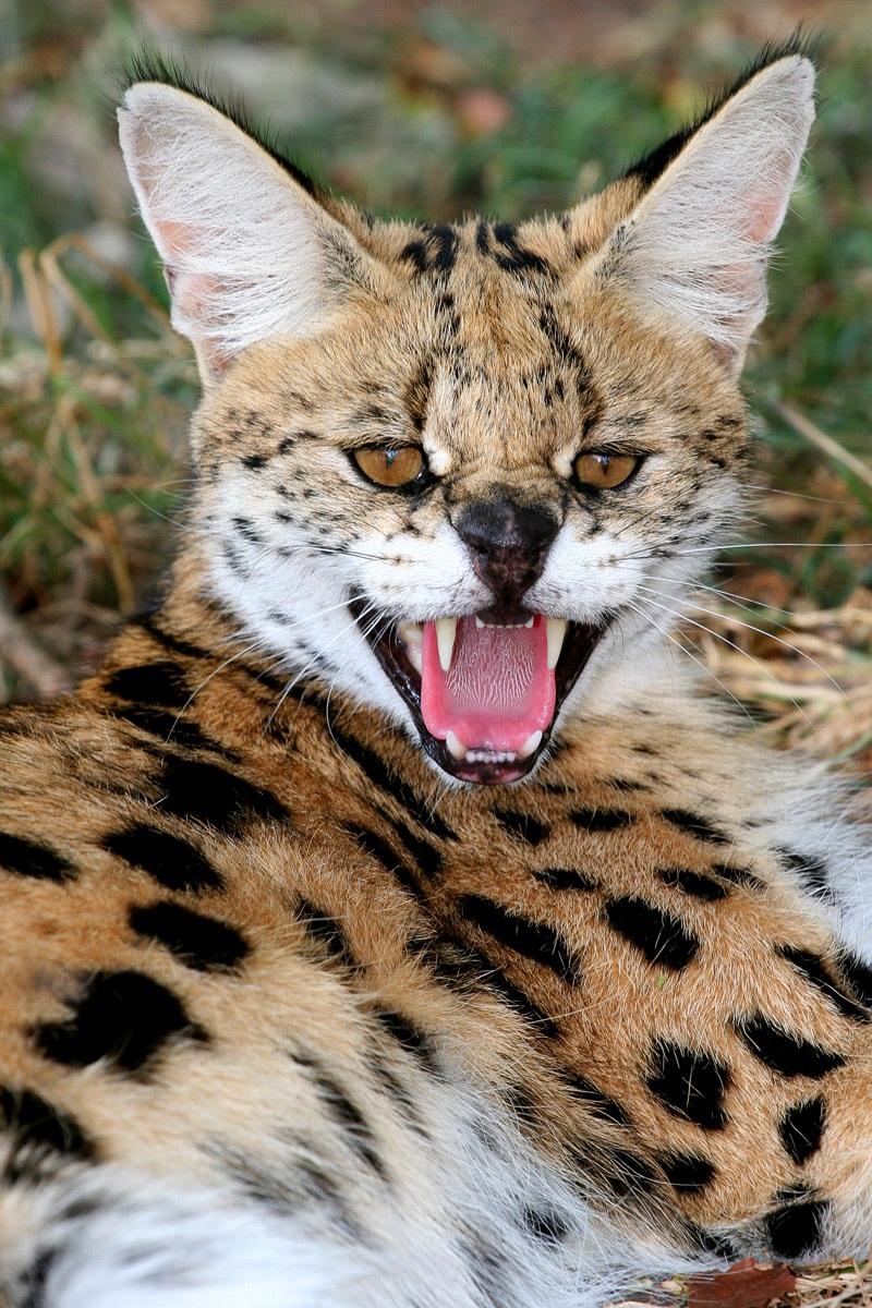 Дикие кошки: Сервал (Leptailurus serval)