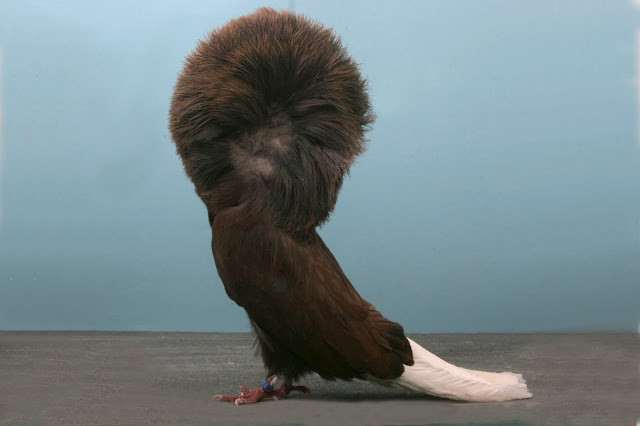 10 необычных пород голубей голубь, необычно, птица