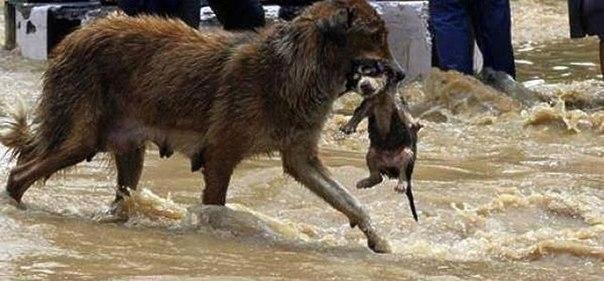 Собака спасает своего щенка от наводнения ( Тбилиси, Грузия, 14.06.2015)