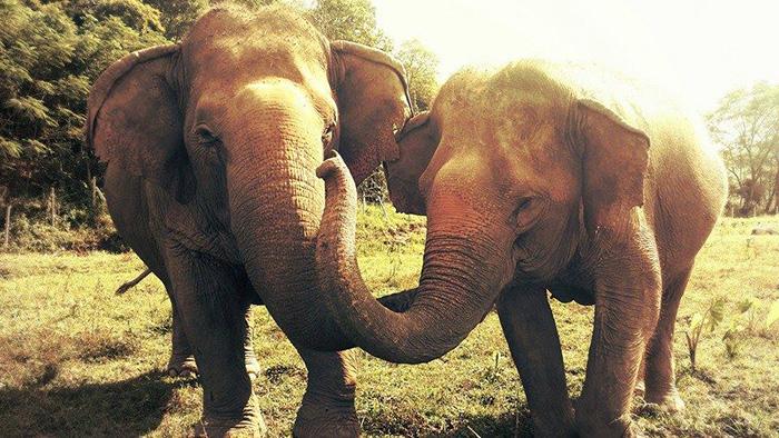 Сердце, полное любви: слепая слониха заплакала, прощаясь со своей умершей подругой