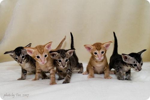 Ориентальная кошка: http://smallivingworld.ru/blog/43438305955/Orientalnaya-koshka?utm_campaign=transit&utm_source=main&utm_medium=page_29&domain=mirtesen.ru&paid=1&pad=1