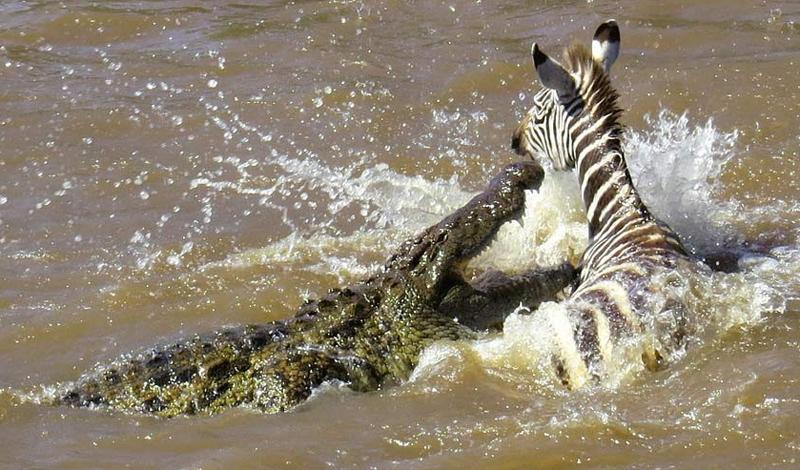 Крокодил Количество смертей в год: 2-3 тысячи человек Крокодил, несмотря на внешнюю неповоротливость, отличается высокой скоростью нападения и совершенно не разборчив в еде. Мгновенный бросок из воды отправил многих путешественников на тот свет — и смерть эта не из приятных: крокодилы предпочитают топить своих жертв, вцепившись зубами за тело.