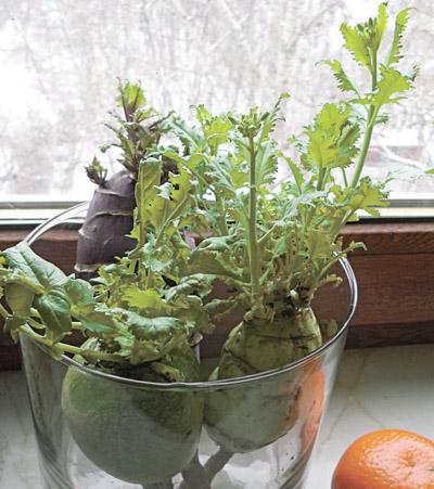 Выгонка свежей витаминной зелени на подоконнике