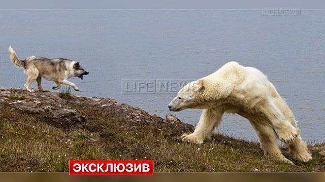 В Арктике пёс заслужил уважение у медведей, и охраняет метеорологов.