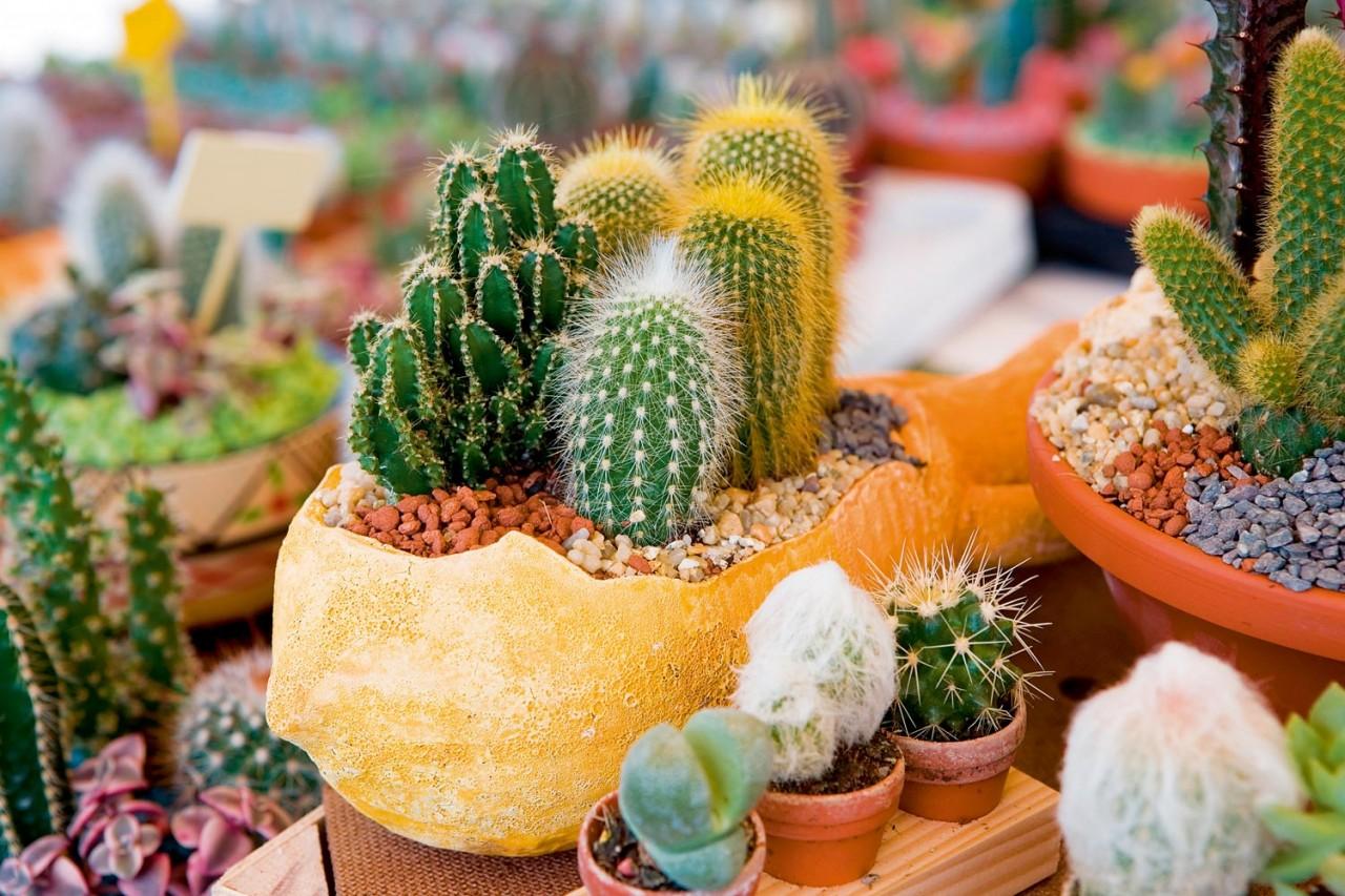 В какие горшки сажают кактусы фото