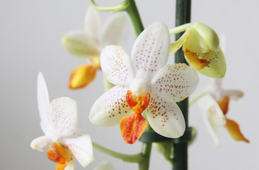 Орхидея фаленопсис Mini Mark
