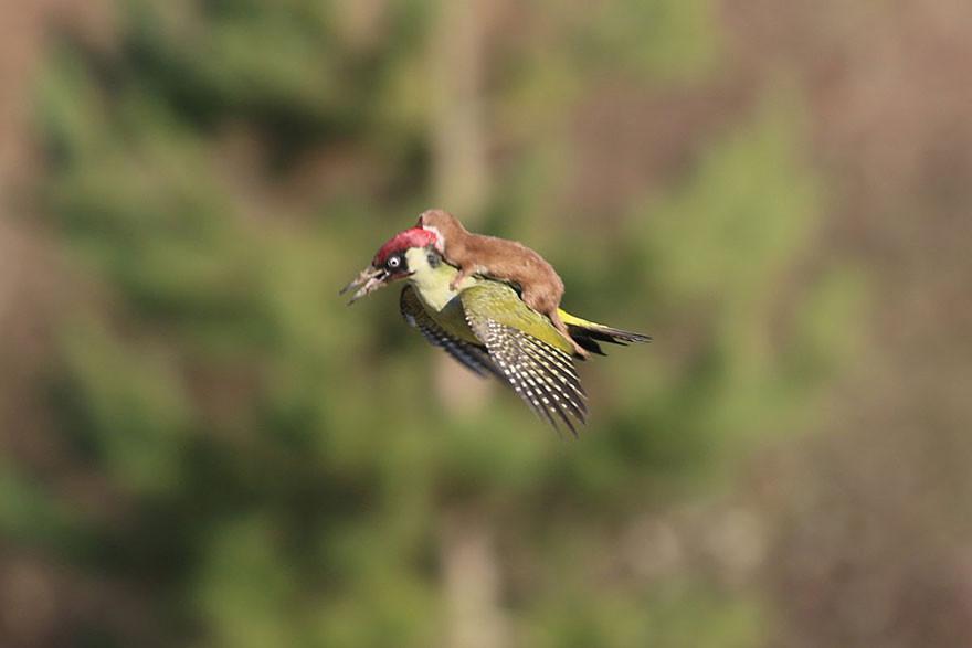 Фантастически редкое фото — ласка летит верхом на дятле дятел, фото, хорек