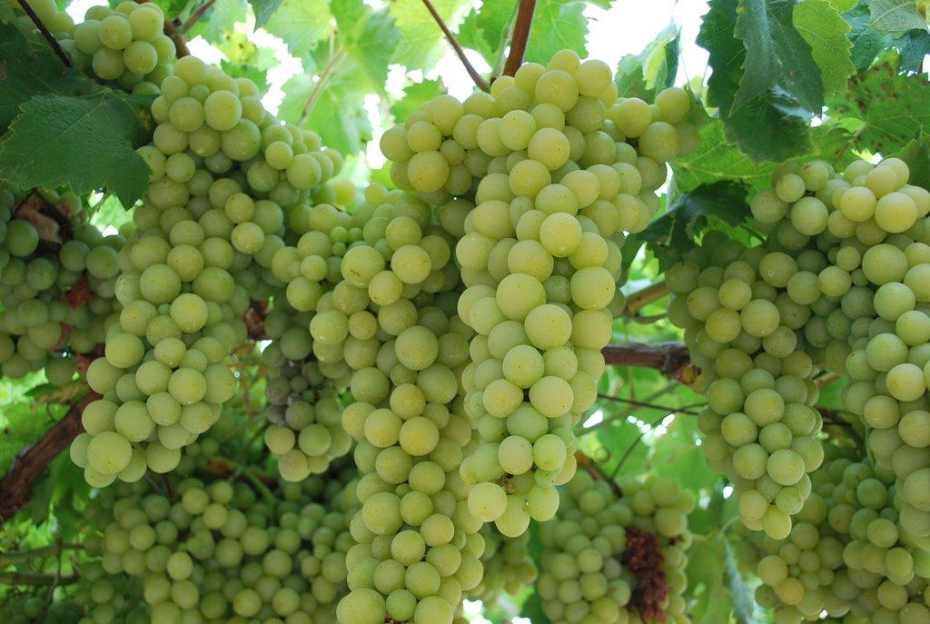 Совместимость винограда с другими растениями