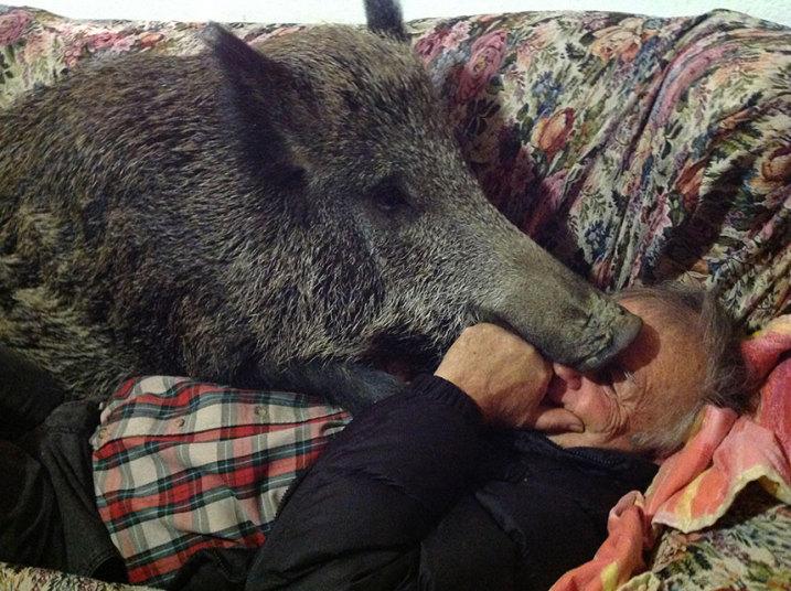 Домашняя дикая свинка Паскалина