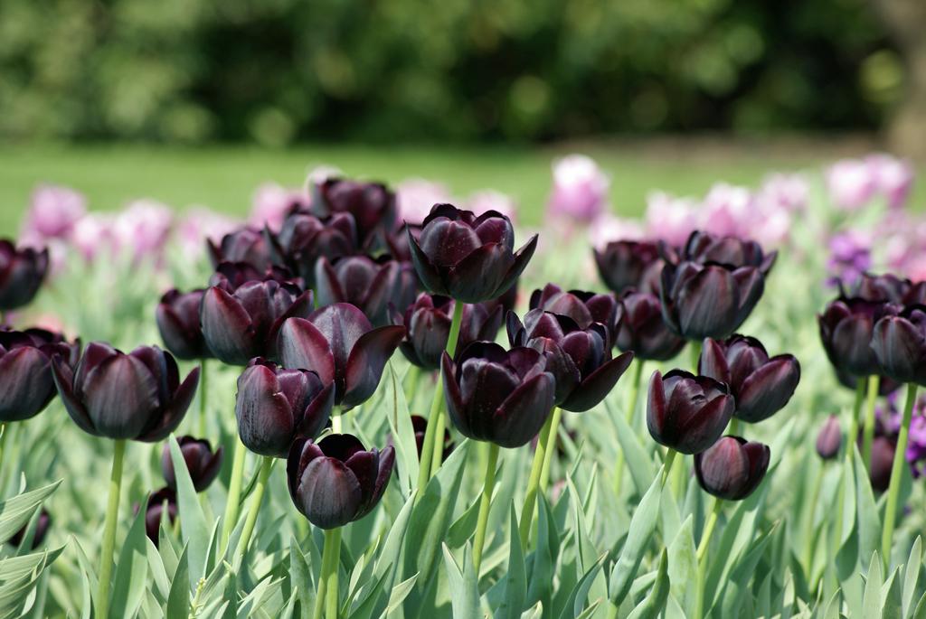 скачать торрент черный тюльпан - фото 7