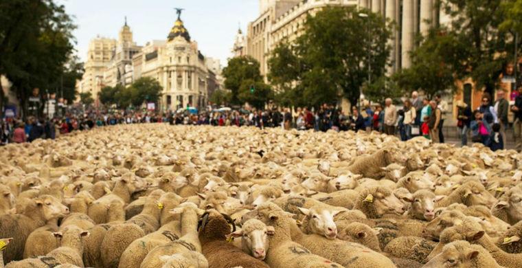 По улицам Мадрида прошли 2 000 овец