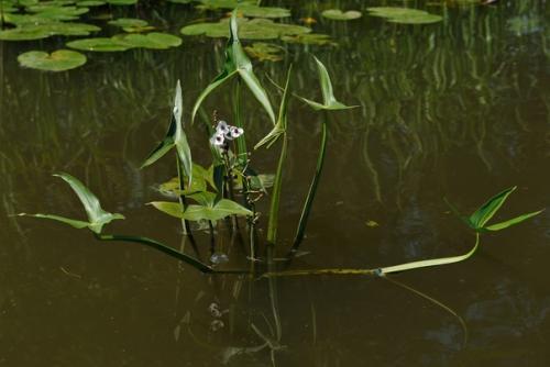 Стрелолист обыкновенный — болотный хлеб, хлеб водяного.