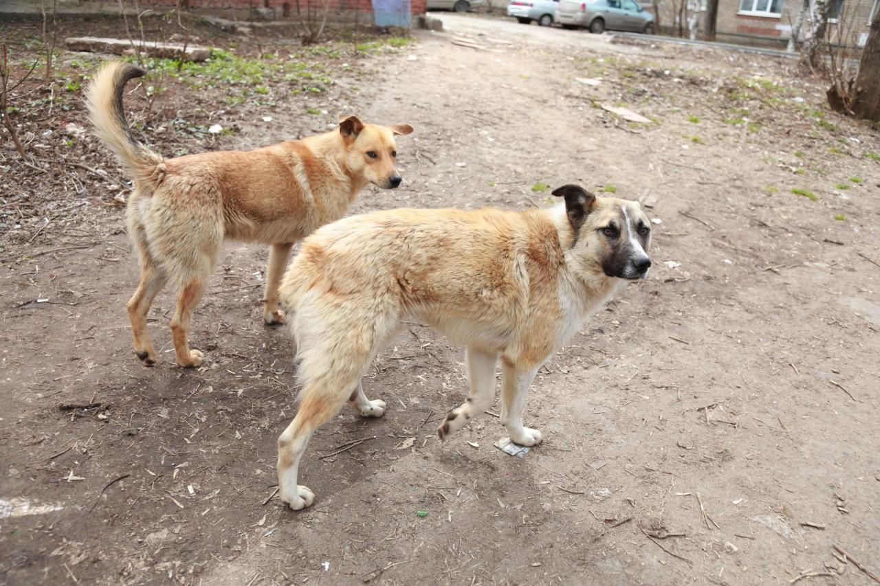 Обходите «собачьи свадьбы» напала, собака
