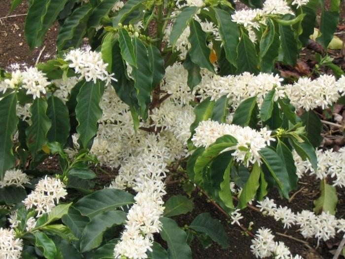 Дивное небольшое вечнозеленое дерево или крупный куст.