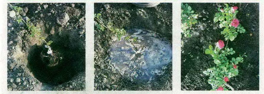 Посадка роз с закрытой корневой системой. ФОТО