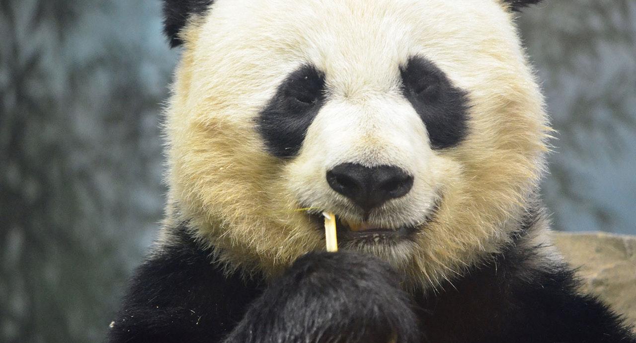 Непростое наследие панды, любившего секс
