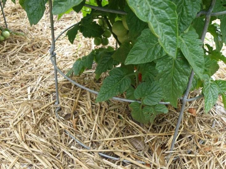 Straw Mulch Around Tomato Plant - Bonnie Plants