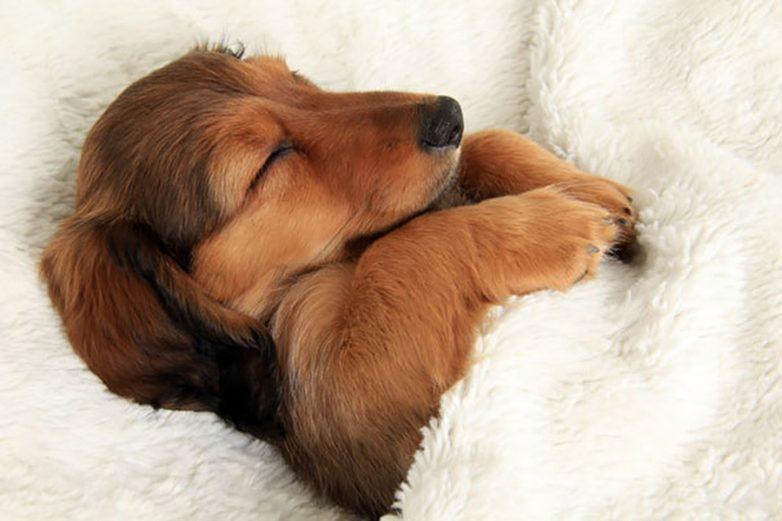 Собаки, которые спят в вашей постели
