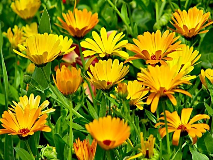 Ноготков цветы