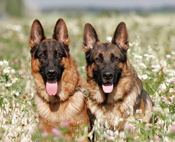 ТОП-5 невероятных способностей собак.