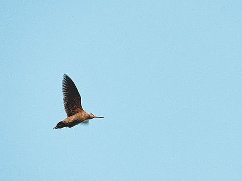 Вальдшнеп тянет полями с гусями