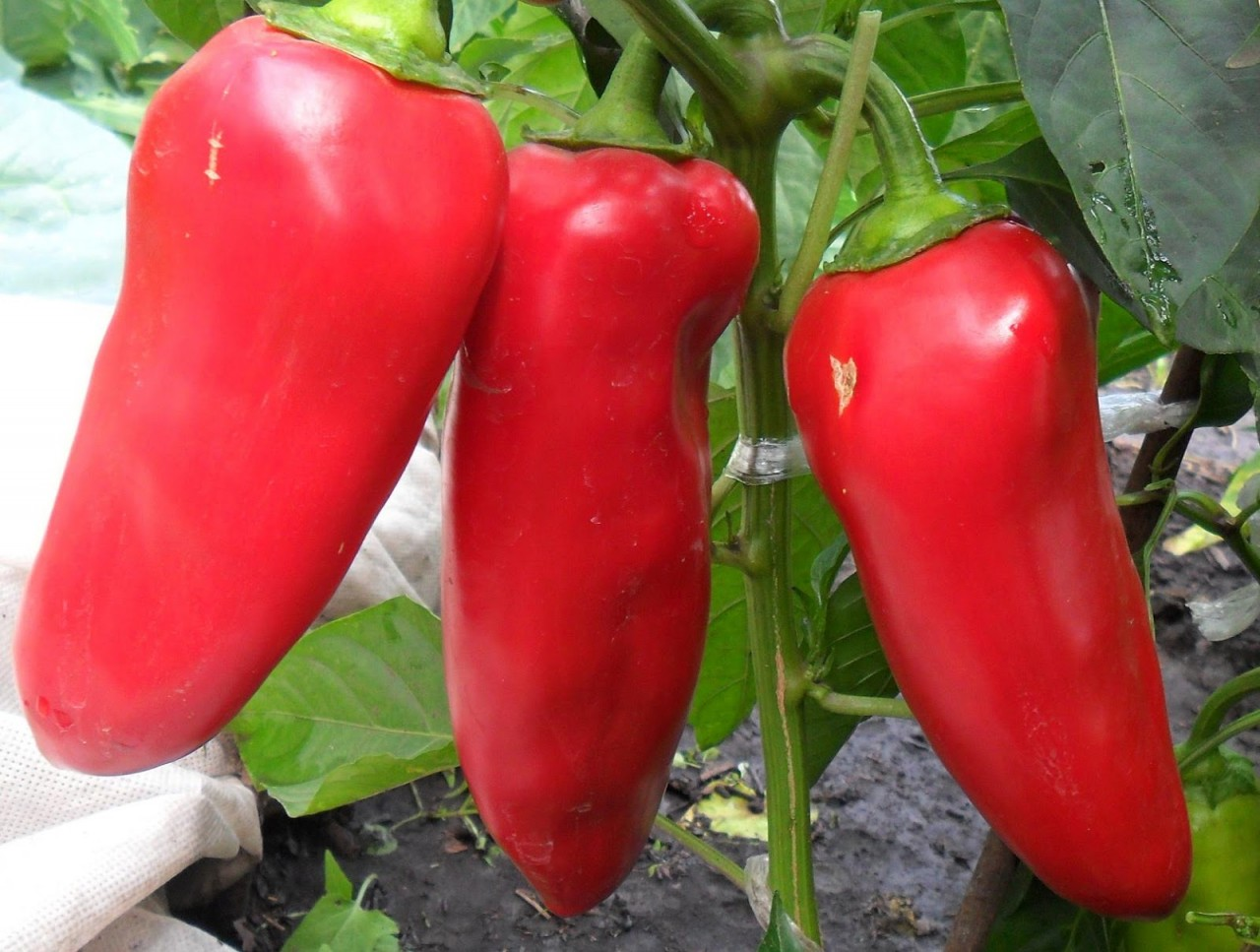 Крепкая рассада перца - залог будущего урожая: личный опыт
