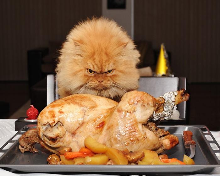 Garfi01 Гарфи, самый сердитый кот в мире