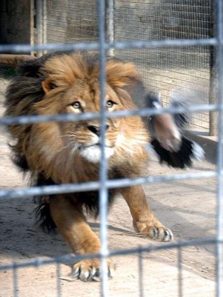 Голубя занесло в клетку со львом голубь, лев