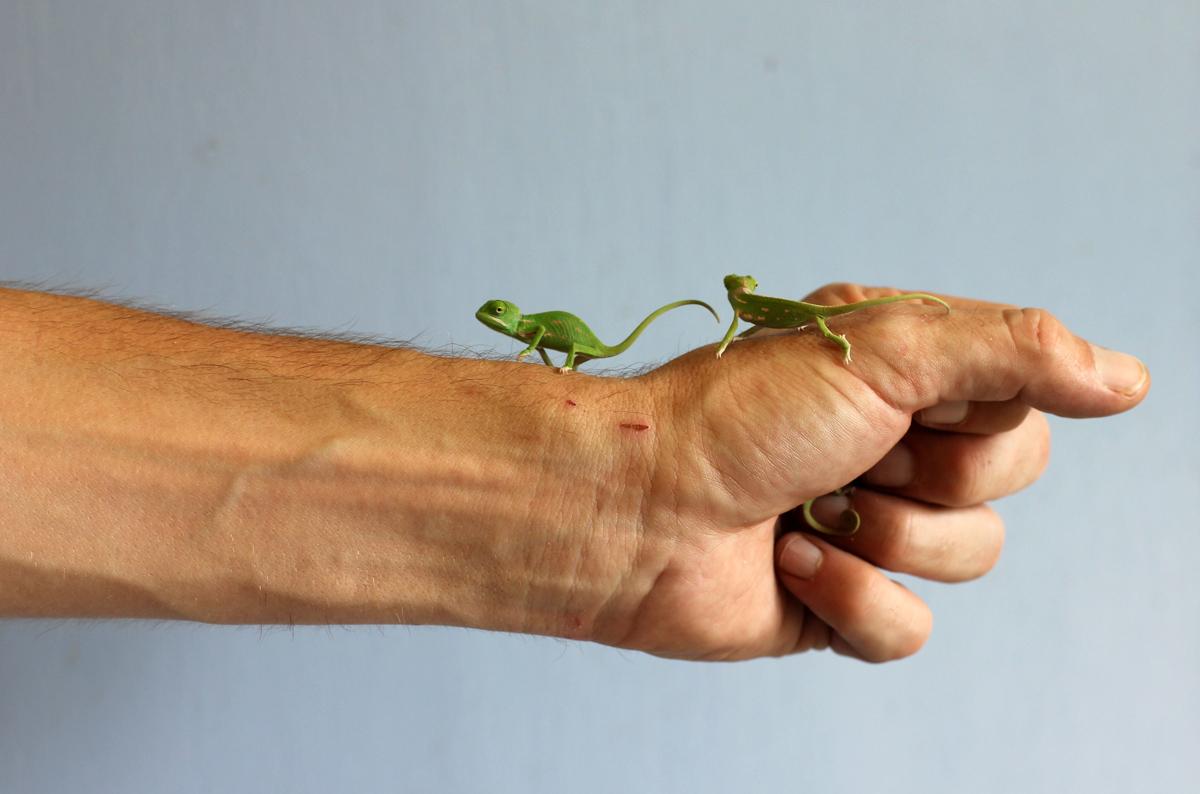 chameleon 04 Крохи хамелеоны — это новые котики