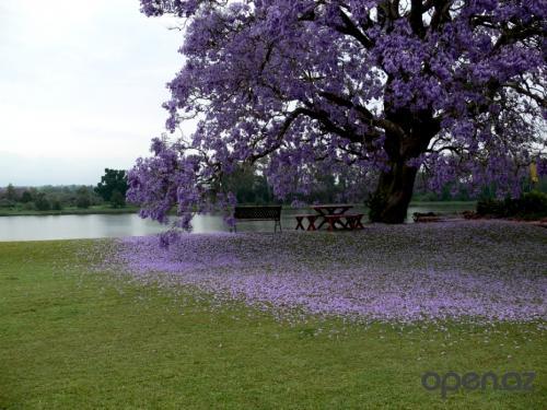 Фиалковое дерево Джакаранда - чудо природы !