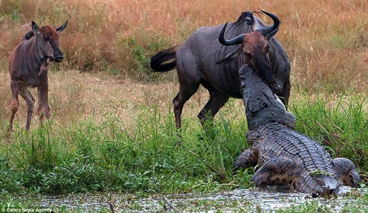 Двое против одного: бегемот и крокодил против антилопы гну