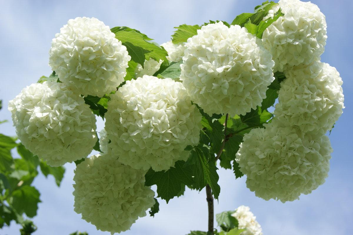 Калина и особенности выращивания