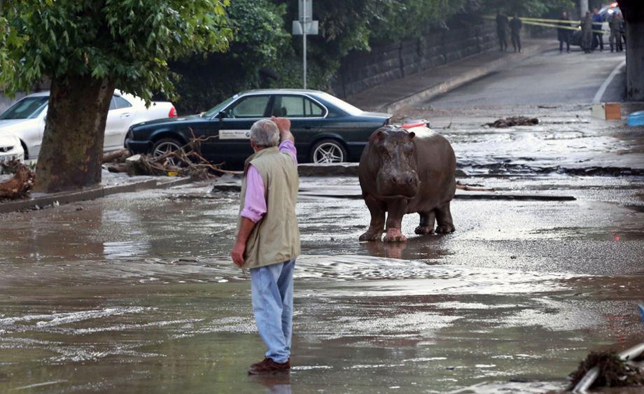 Бегемота приютили слоны