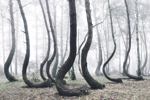 90 лет назад эти 400 деревьев выросли мистическим образом изогнутыми. Причина этого обескураживает!
