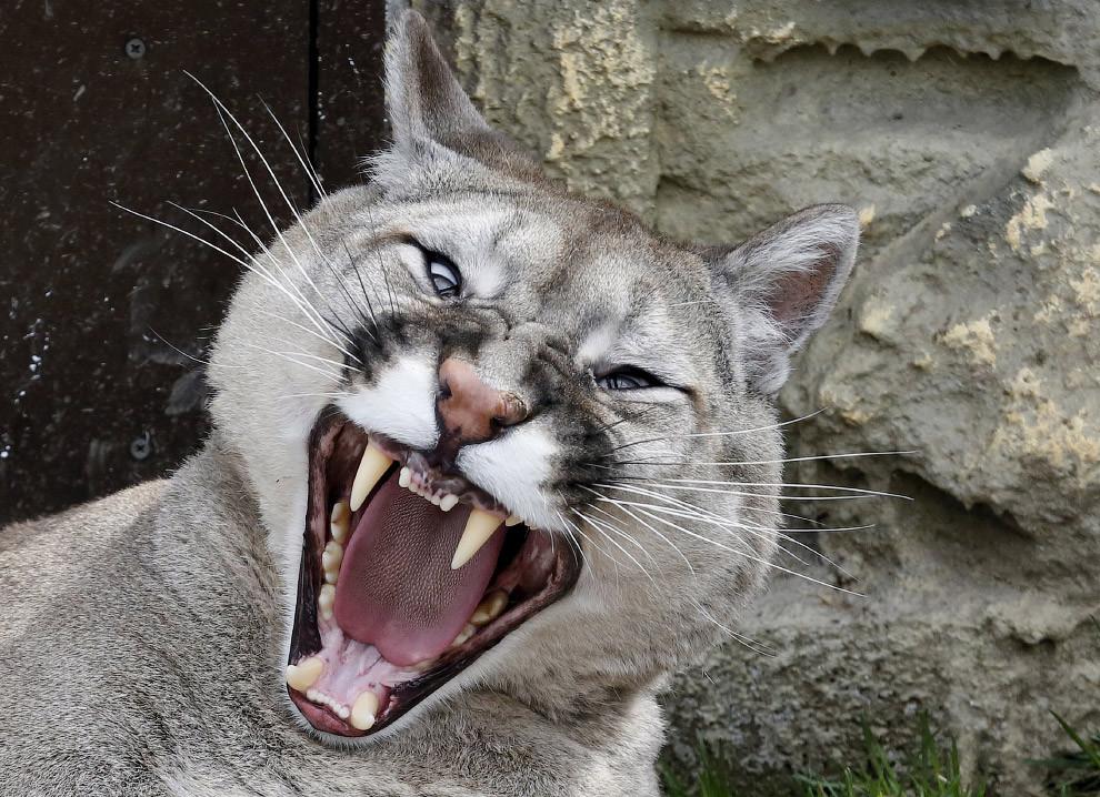 Пора на боковую. Пума в зоопарке Роев ручей в Красноярске, Россия. животные, жизнь, позитив, эмоции