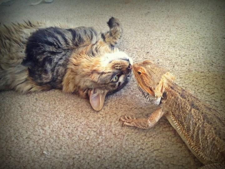 14 кошек, которые всерьёз подружились с ящерицами