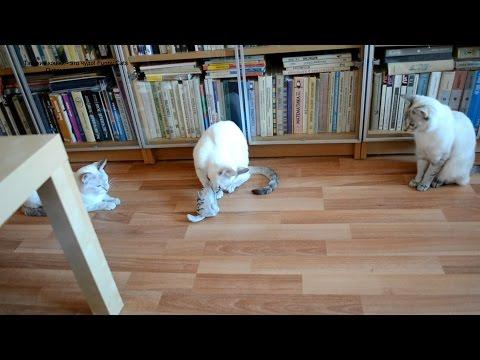 Улётное видео! Как тайская кошечка оживляла кошку-игрушку! Funny Cats!