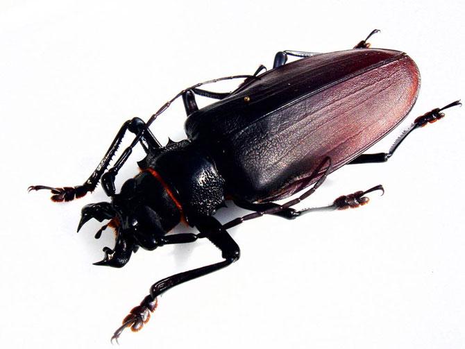 Самый большой в мире жук