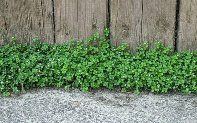 Мокрица — не просто сорняк, а кладезь полезных веществ