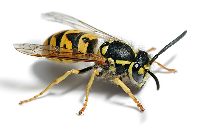 Яд осы способен убить раковые клетки, не затрагивая здоровые