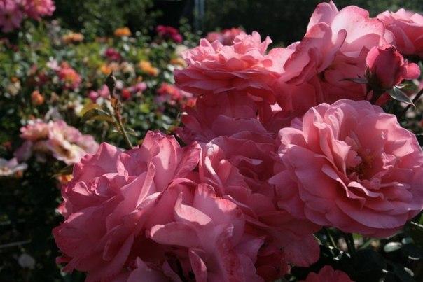 10 самых обильно цветущих сортов роз