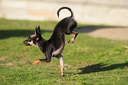 Собака из Калифорнии стала рекордсменкой по бегу на передних лапах (Видео)