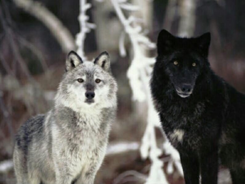 Волчья верность...