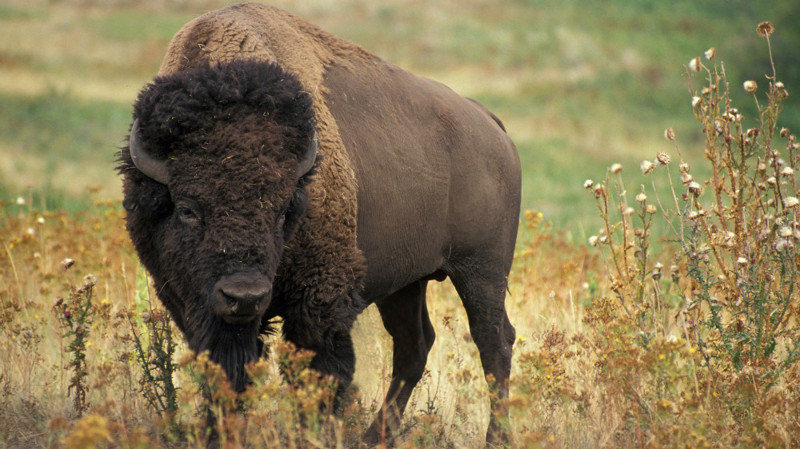 3. Бизон. животные, опасные животные