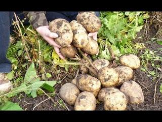 Картофель в соломе, в сфагнуме (мох) и в коробе