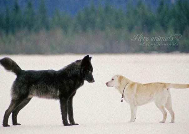 Волк Ромео — посол дикой природы в мире людей